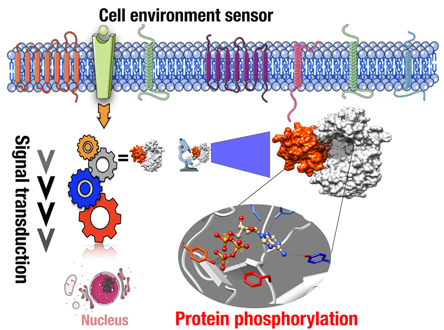 Discovery of a new on/off switch affecting cell-to-cell communications