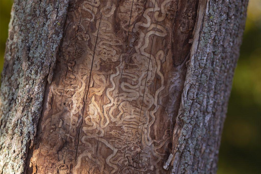 Galeries d'alimentation des larves de l'agrile du frêne, en zigzag ou de forme serpentiforme.