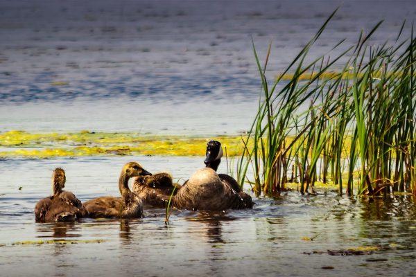 Les effets des polluants sur la faune du Canada